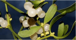 Mistletoe Therapy