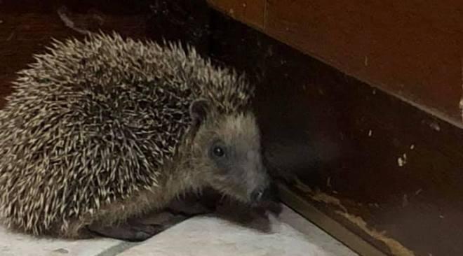 """Un riccio sottopeso trovato questa sera a Cigliano. """"Lo aiuteremo per superare l'inverno"""""""