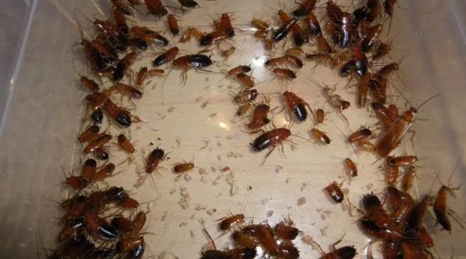 POZZUOLI/ Invasione di blatte nelle abitazioni alle Reginelle, i residenti chiedono intervento