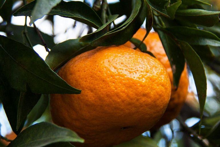 MONTE DI PROCIDA/ Festa del mandarino, sabato l'ultima tappa a Villa Matarese