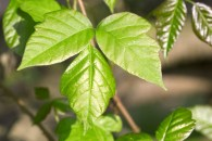 Poisonous Plants - Poison Ivy