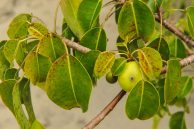 Poisonous plants -The Deadly Manchineel