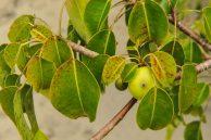 Poisonous plants -The Deadly Manchineel