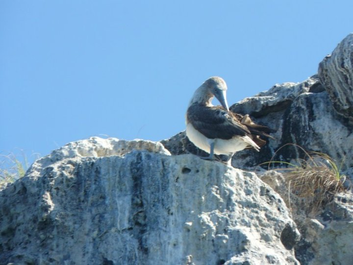 Blue-footed booby at Los Arcos Marine Park