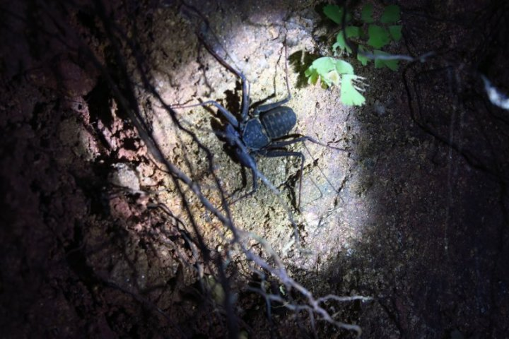 The tailless whip scorpion