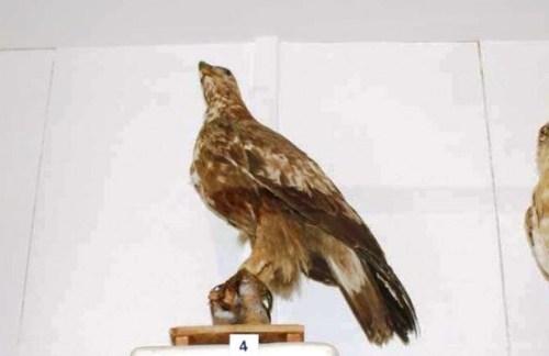 Rinasce a Mazara il museo dei cacciatori, 366 uccelli in mostra