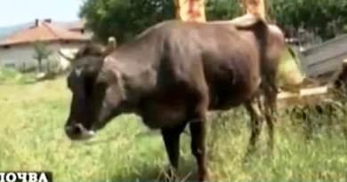 """Il caso della mucca Penka, condannata a morte per aver attraversato """"illegalmente"""" il confine bulgaro"""