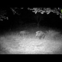 [Ambiente] Branco di lupi assalta un cinghiale, furiosa battaglia nella notte per la vita (Video)