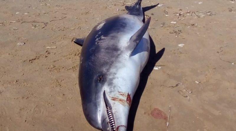 Campobello. Ritrovato delfino morto sulla spiaggia di Pozzitello