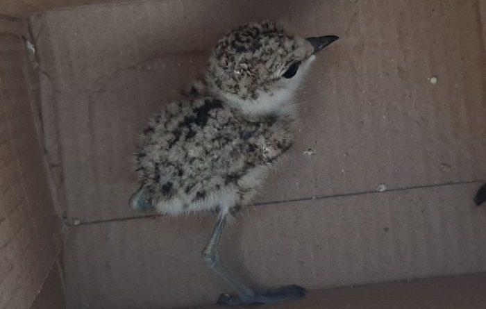 WWF – Eccezionale scoperta in Sicilia: nuovo sito di nidificazione del fratino.