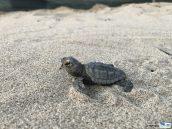 una tartaruga marina appena nata