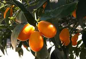 comprar kumquat