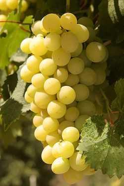 Historia de las Pasas de Málaga- Racimo de uva Moscatel