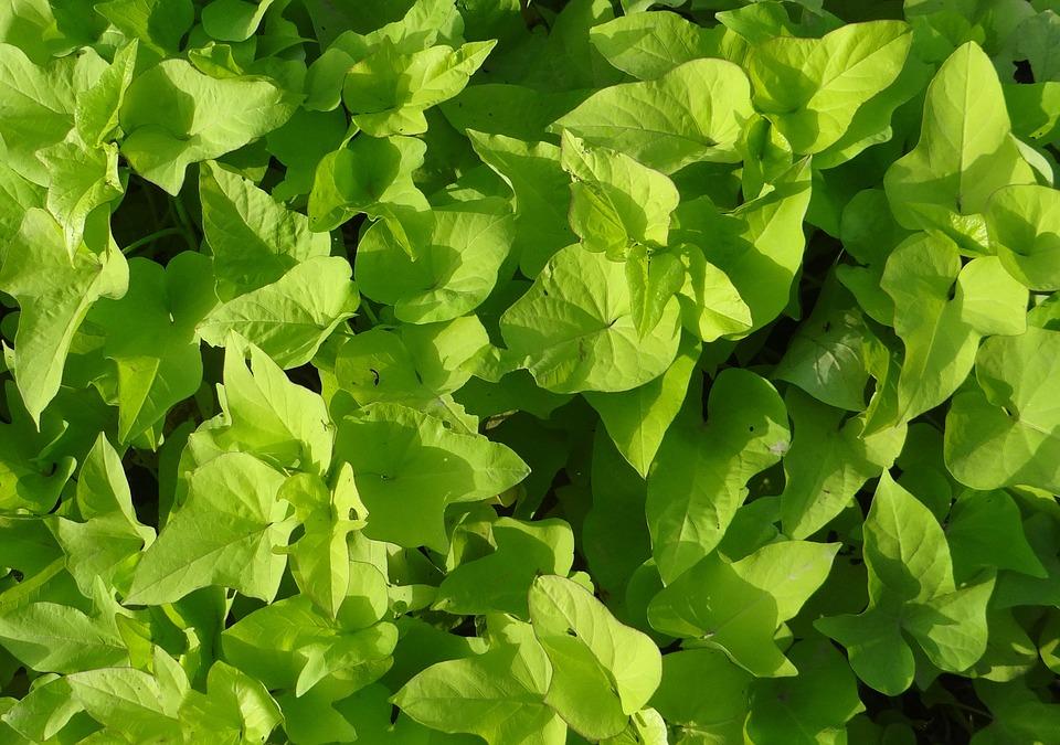 planta de batata