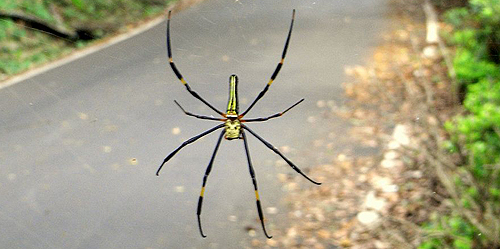 Nephila_pilipes_in_Taiwan