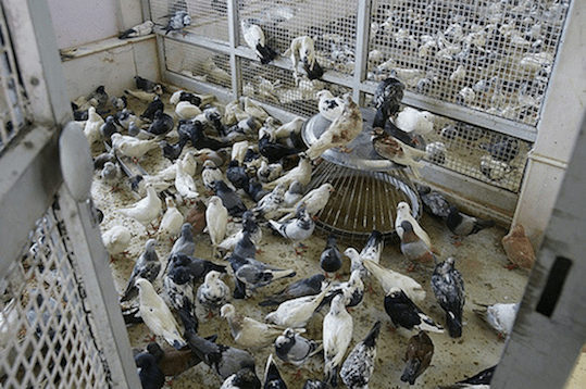 pigeon breeding