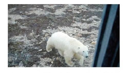 Bear under window Churchill tundra © Lucy Izon
