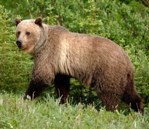 Grizzly Bear. (CNW Group/Committee on the Status of Endangered Wildlife in Canada
