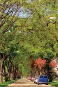 Winnipeg Elm Trees