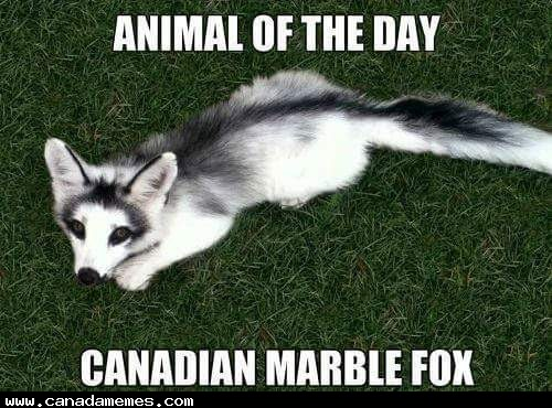 Animal of the day - The Canadian Marble Fox