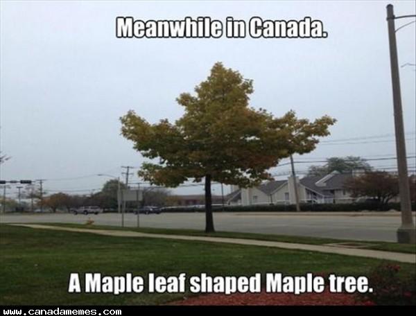 🇨🇦 A Maple Tree Shaped Like a Maple Leaf