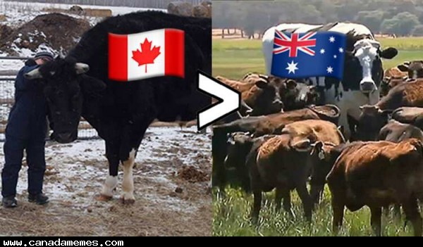 🇨🇦 Sorry Australia but our giant cow is bigger. Meet Dozer from Manitoba