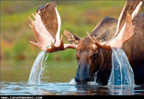 🇨🇦 Moose creating a waterfall off its antlers