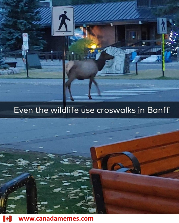 Even the wildlife use crosswalks in Banff