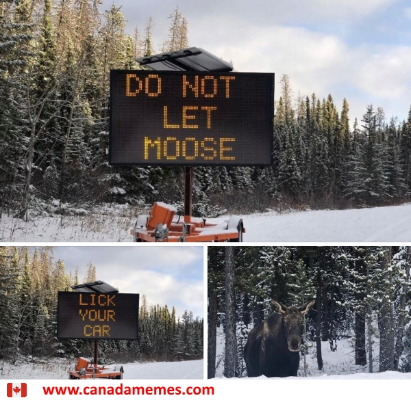 Do not let moose lick your car!