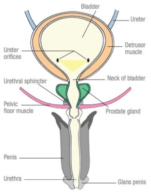 Symptoms of Bladder Control Problems, Weakness and Leakages
