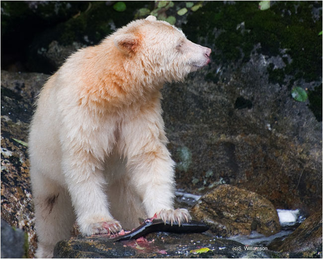 Spirit Bear by Steve Williamson ©
