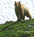 Grizzly of Dolomite Pass