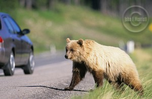 Catch a glimpse of a grizzly bear while on a Canadian Rockies road trip.