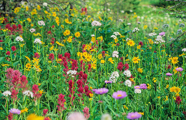Wildflowers at Sunshine Meadows, Mt Assiniboine Provincial Park, BC