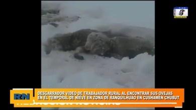 Photo of Redacción Noticias |  Desgarrador video al encontrar sus ovejas en el temporal de nieve en la zona  Cushamen Chubut