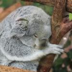 Extinction progressive des koalas d'Australie