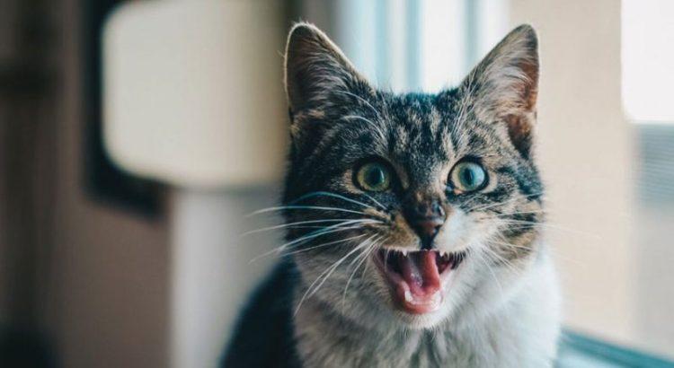 Gatito maullando. Créditos de la foto: Internet
