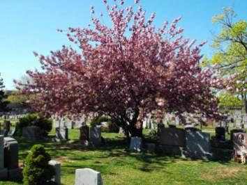 Canarsie Cemetery Begins to Blossom