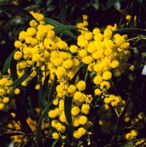 Golden wattle National Archives of Australia (422x425)