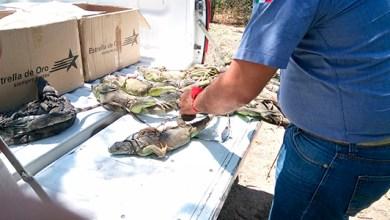 Photo of Profepa rescata a 20 iguanas abandonadas en terminal de autobuses de Guerrero