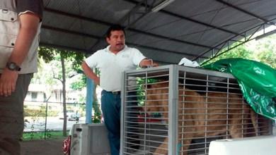 Photo of Profepa transfiere a león africano de Chetumal a Pachuca