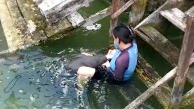 Photo of Cría de manatí rescatado en Chetumal, avanza en su recuperación