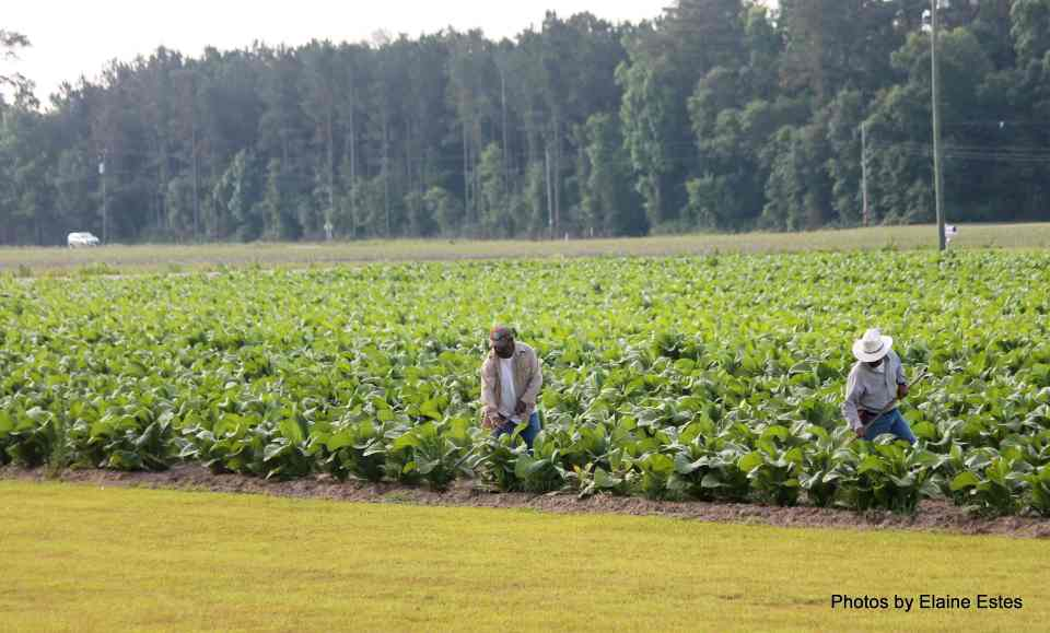 Tobacco Planting and Harvesting in NC's Olden Days 1