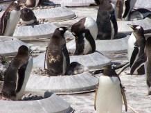 Many Little Penguins