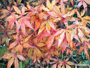Dad's Japanese maple in the fall