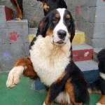 Filhote De Bernese Mountain Dog Canil Balantine Boiadeiro Bernes