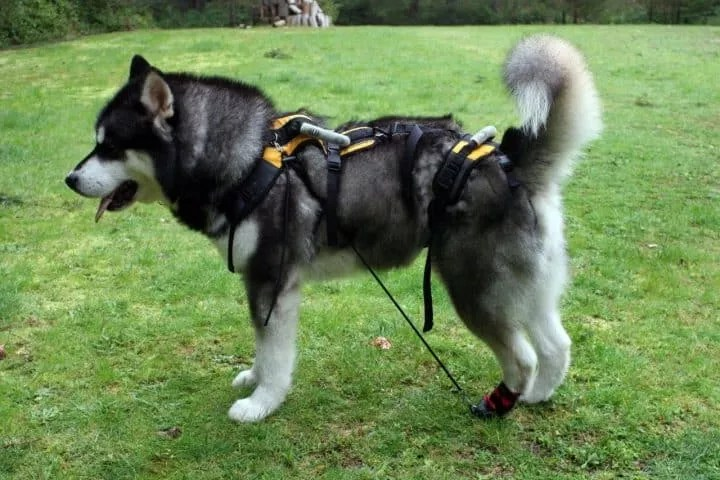 Jag, a 3-year-old Alaskan Malamute recovering from a fibrocartilaginous embolism (FCE), using an Anti-Knuckling Device and modified UltraPaws boot from Canine Mobility