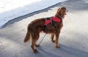 Reilly, a 12-year-old Irish Setter with Degenerative Disc Disease, using the Anti-Knuckling Device post lumbar laminectomy