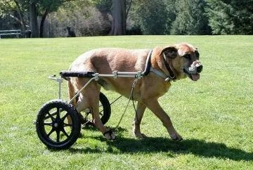 Gus, a 9-year-old Rhodesian Ridgeback with degenerative myelopathy (DM), using bilateral Anti-Knuckling Devices with an Eddies Wheels cart