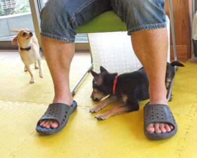 チワワの飼い主さんの足元に寝転ぶ、シバパピー